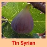 Tin syrian