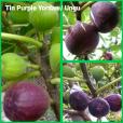 Tin ungu