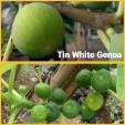 tin white geneo