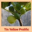 Tin Yellow p
